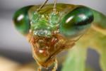 Ant Mimic Mantis