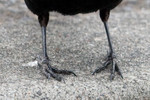 blackbird-02