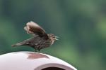 blackbird-04