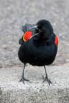 blackbird-07