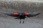 blackbird-09