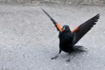 blackbird-10