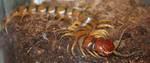Highlight for Album: Centipedes