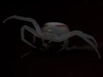 crab spider-01