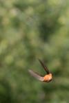 hummingbird-07