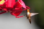 hummingbird-08