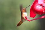 hummingbird-09