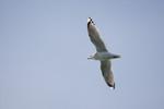 seagulls-09