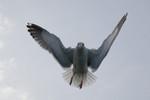 seagulls-34