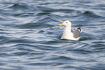 seagulls-48