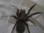 tub spider-1